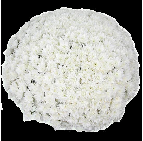 101 белая хризантема