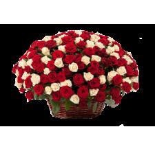 151 красно - персиковая роза