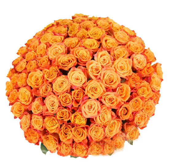 151 оранжевая роза